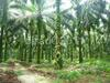 Palm plantation@cirad-c.bessou